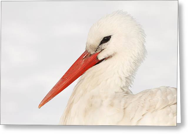 Wading Bird Greeting Cards - Stork in the Snow Greeting Card by Roeselien Raimond