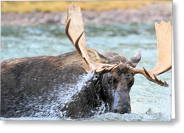 Moose In Water Greeting Cards - Stormy Dinner Greeting Card by Adam Jewell