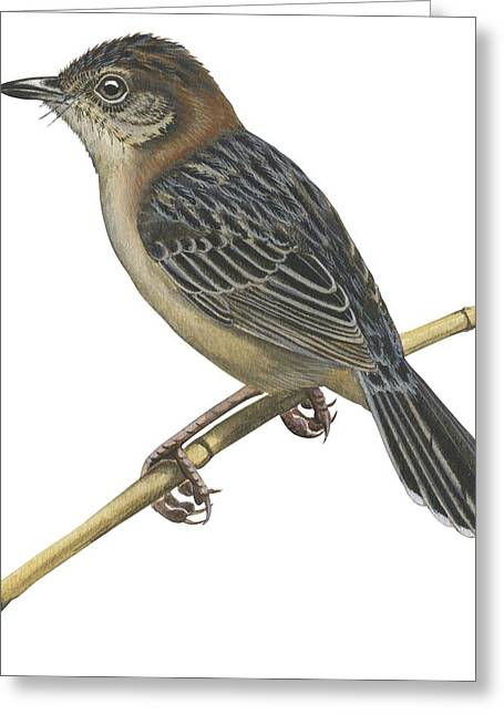 Zoology Greeting Cards - Stout cisticola Greeting Card by Anonymous
