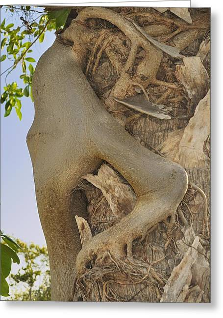 Ficus Aurea Greeting Cards - Strangler fig humanoid Greeting Card by Bradford Martin
