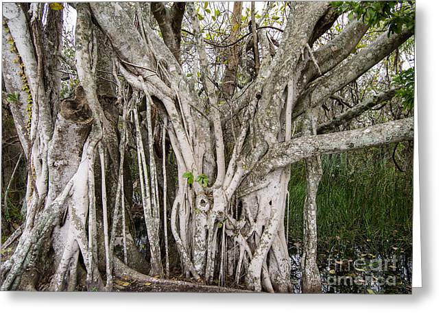 Ficus Aurea Greeting Cards - Strangler Fig Tree Greeting Card by Tracy Knauer