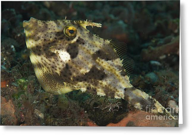 Straps Greeting Cards - Strap-weed Filefish Tulamben, Bali Greeting Card by Steve Jones