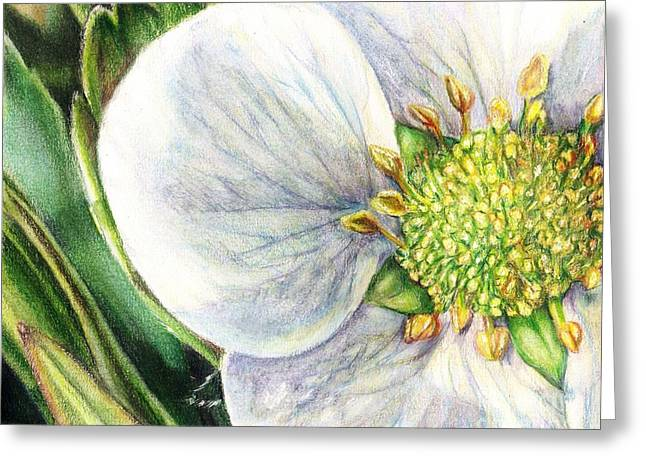 Wild Life Drawings Greeting Cards - Strawberry Blossom Greeting Card by Shana Rowe