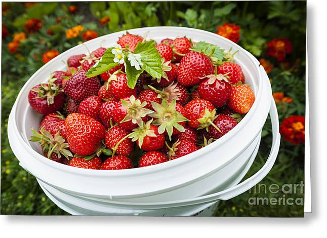 Strawberries Greeting Cards - Strawberry harvest Greeting Card by Elena Elisseeva