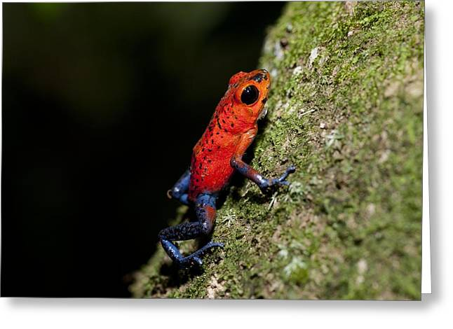 Morph Greeting Cards - Strawberry poison frog Greeting Card by Science Photo Library