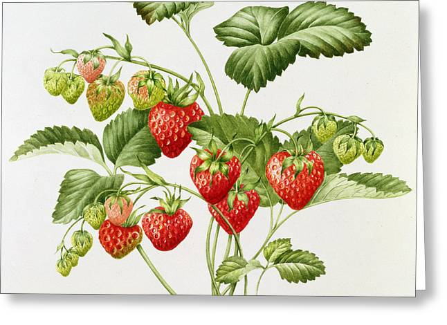 Strawberry Paintings Greeting Cards - Strawberry Greeting Card by Sally Crosthwaite