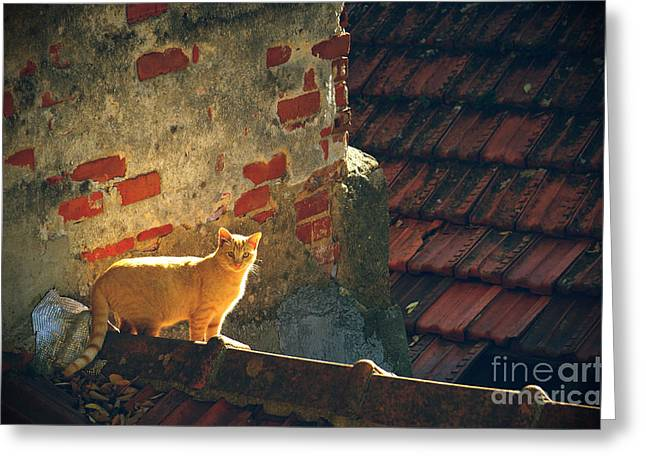 Stray Cat Greeting Card by Carlos Caetano
