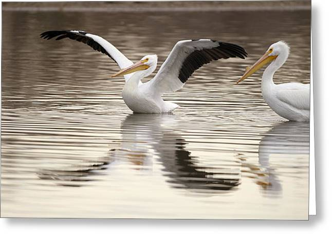 Flying White Pelicans Greeting Cards - Streaching its Wings  Greeting Card by Gary Langley