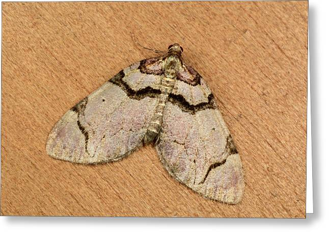 Streamer Moth Greeting Card by Nigel Downer