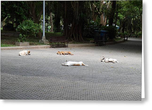 Stray Greeting Cards - Street Dog - Phuket Thailand - 01131 Greeting Card by DC Photographer