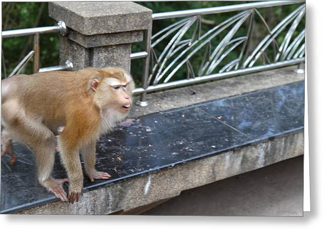 Monkey Greeting Cards - Street Monkey - Phuket Thailand - 01137 Greeting Card by DC Photographer