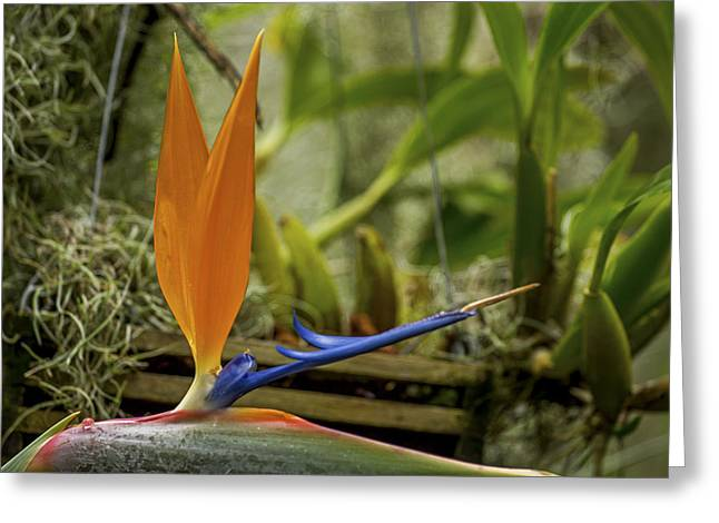 Hanging Planter Greeting Cards - Strelitzia  Greeting Card by Calazones Flics