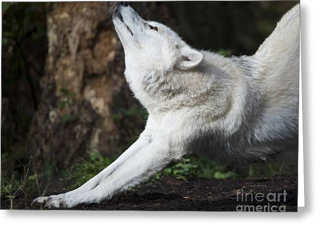 Wolves Photographs Greeting Cards - Stretch Greeting Card by Mike Dawson