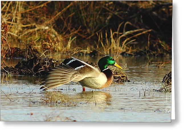 Quack Greeting Cards - Stretching Mallard Drake Greeting Card by Robert Frederick