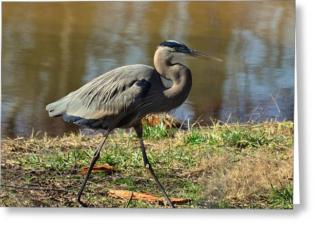 Heron Greeting Cards - Striding Heron - 12279009c Greeting Card by Paul Lyndon Phillips