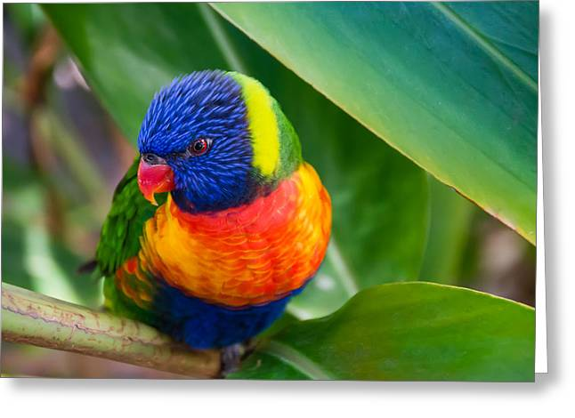 Coloured Plumage Greeting Cards - Striking Rainbow Lorakeet Greeting Card by Penny Lisowski