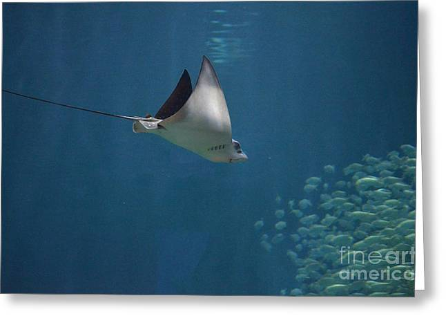 Snorkel Greeting Cards - Stringray Heading Towards Fish Greeting Card by DejaVu Designs