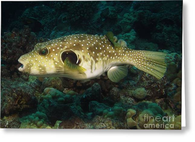 Green Spotted Puffer Fish Greeting Cards - Stripe Belly Puffer Greeting Card by William Miller