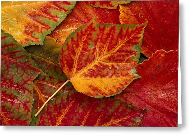 Fall Trees Greeting Cards - Stripebark Maple Leaf Fall Close-up Greeting Card by John Warden