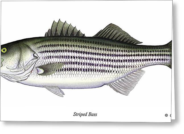 Fin Greeting Cards - Striped Bass Greeting Card by Charles Harden