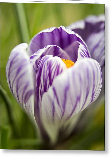 Crocus Greeting Cards - Striped Greeting Card by Caitlyn  Grasso