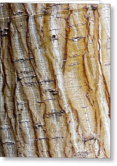 Steven Ralser Greeting Cards - Striped maple Greeting Card by Steven Ralser