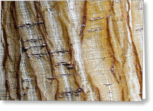 Striped maple Greeting Card by Steven Ralser