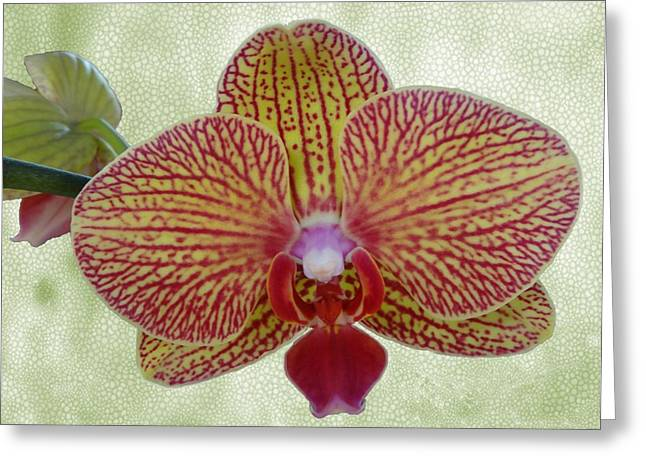 Phalenopsis Greeting Cards - Striped Orchid Greeting Card by Lena Kouneva