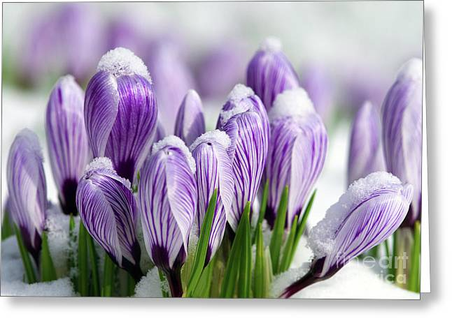 Spring Bulbs Greeting Cards - Striped Purple Crocuses in the Snow Greeting Card by Sharon  Talson