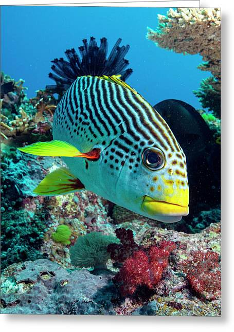 Striped Sweetlips On A Reef Greeting Card by Louise Murray