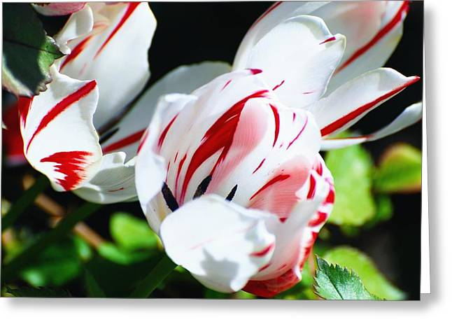 Don Cherry Greeting Cards - Striped Tulips Greeting Card by Don Mann