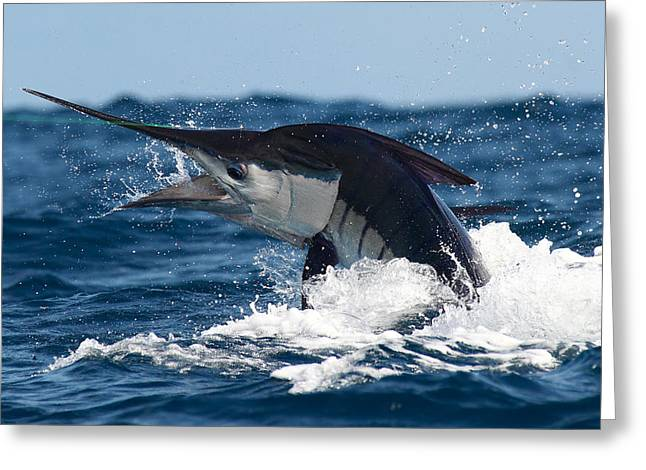 Striped Marlin Greeting Cards - Striper Greeting Card by David Granville