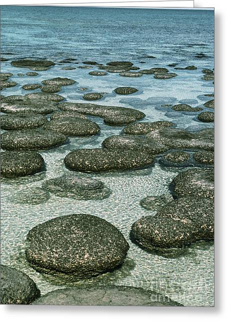 Algae Greeting Cards - Stromatolites Formed By Blue-green Algae Greeting Card by Georgette Douwma