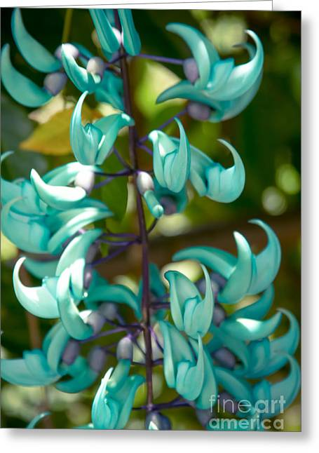 Strongylodon Macrobotrys Greeting Cards - Strongylodon macrobotrys - Blue Jade Vine - Hawaii  Greeting Card by Sharon Mau