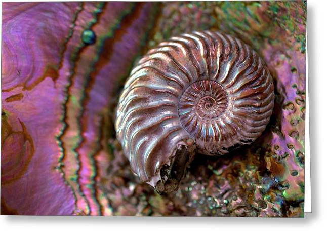 Structural Colour Ammonite Modern Abalone Greeting Card by Paul D Stewart