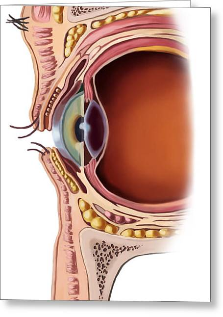 Eyelids Greeting Cards - Structure Of The Eye Greeting Card by Spencer Sutton