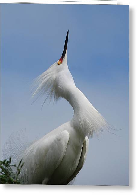 Photos Of Birds Greeting Cards - Strut Yer Stuff Greeting Card by Skip Willits