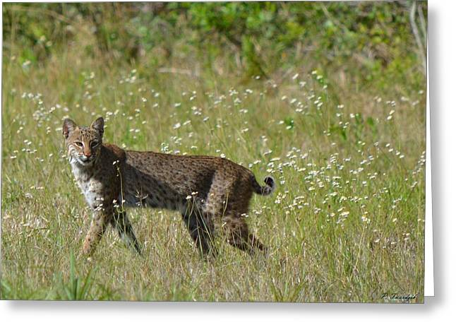 Female Bobcat Greeting Cards - Strutting Bobcat  Greeting Card by Patricia Twardzik