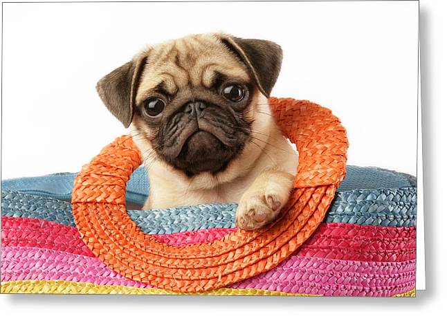Puppies Photographs Greeting Cards - Stuck Pug Greeting Card by Greg Cuddiford