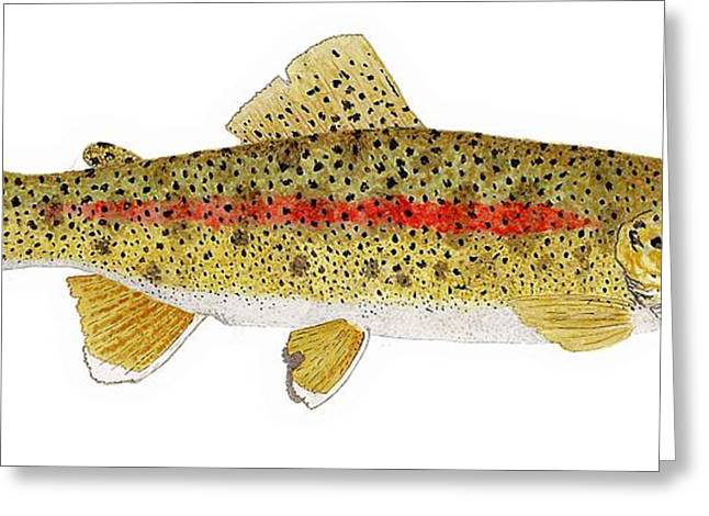 Thom Glace Greeting Cards - Study of a Columbia River Erdband Trout Greeting Card by Thom Glace