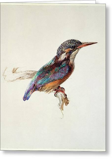 Study Of A Kingfisher Greeting Card by Ashmolean Museum/oxford University Images