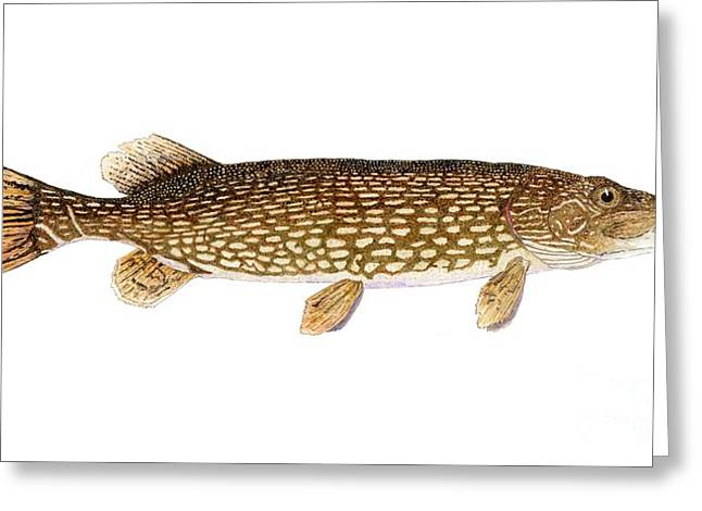 Pickerel Greeting Cards - Study of a Northern Pike Greeting Card by Thom Glace