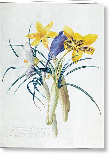 Pre-19th Greeting Cards - Study of Four Species of Crocus Greeting Card by Georg Dionysius Ehret