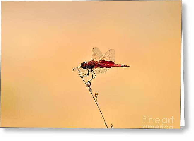 Dragonflies Greeting Cards - Stunning Saddlebags Greeting Card by Al Powell Photography USA