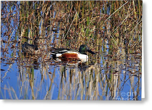 Anatinae Greeting Cards - Stunning Shovelers Greeting Card by Al Powell Photography USA