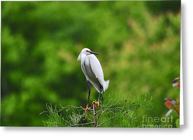 Egretta Thula Greeting Cards - Stunning Snowy Greeting Card by Al Powell Photography USA