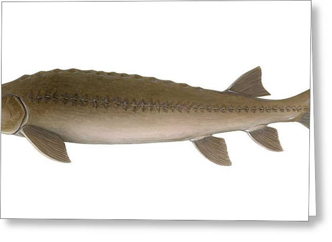 Sturgeon Greeting Cards - Sturgeon Greeting Card by Carlyn Iverson