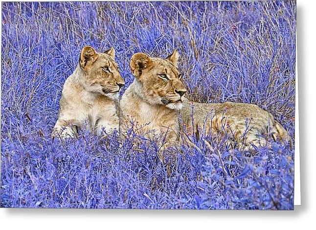 Lioness Greeting Cards - Styled Environment- Modern Lionesses V2 Greeting Card by Douglas Barnard
