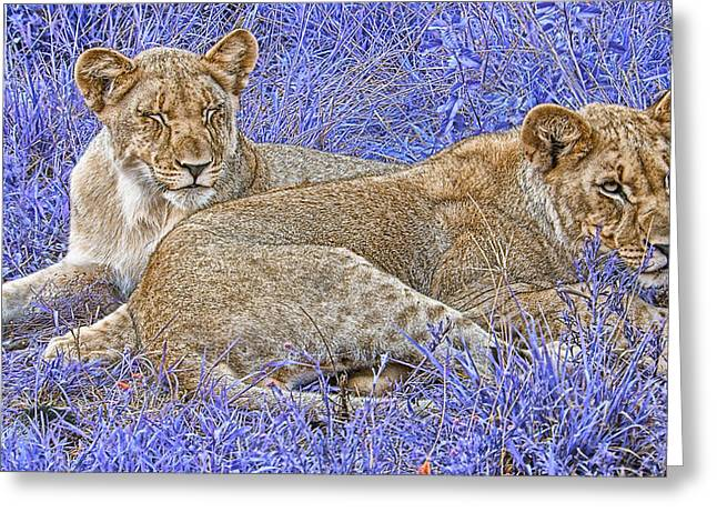 Lioness Greeting Cards - Styled Environment-Modern Lionesses V3 Greeting Card by Douglas Barnard