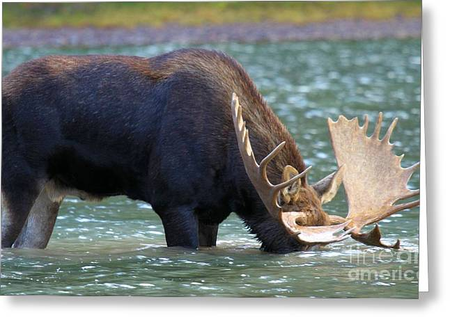 Moose In Water Greeting Cards - Submerged Greeting Card by Adam Jewell